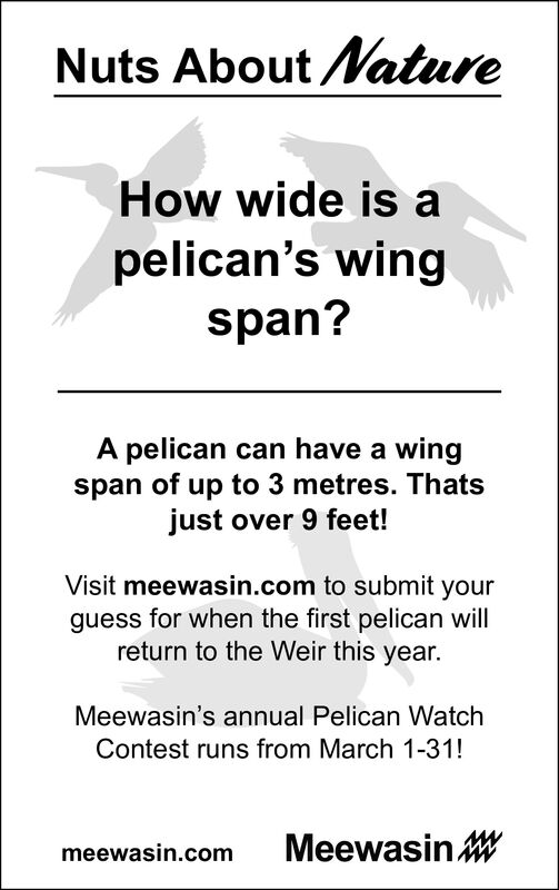 Nuts About atureHow wide is apelican's wingspan?A pelican can have a wingspan of up to 3 metres. Thatsjust over 9 feet!Visit meewasin.com to submit yourguess for when the first pelican willreturn to the Weir this year.Meewasin's annual Pelican WatchContest runs from March 1-31!meewasin.comMeewasin W Nuts About ature How wide is a pelican's wing span? A pelican can have a wing span of up to 3 metres. Thats just over 9 feet! Visit meewasin.com to submit your guess for when the first pelican will return to the Weir this year. Meewasin's annual Pelican Watch Contest runs from March 1-31! meewasin.com Meewasin W