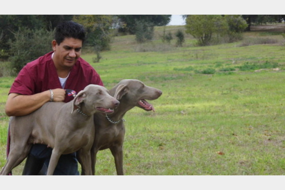 Vega Weimaraners - Pets and Animals - Breeders in Clermont FL
